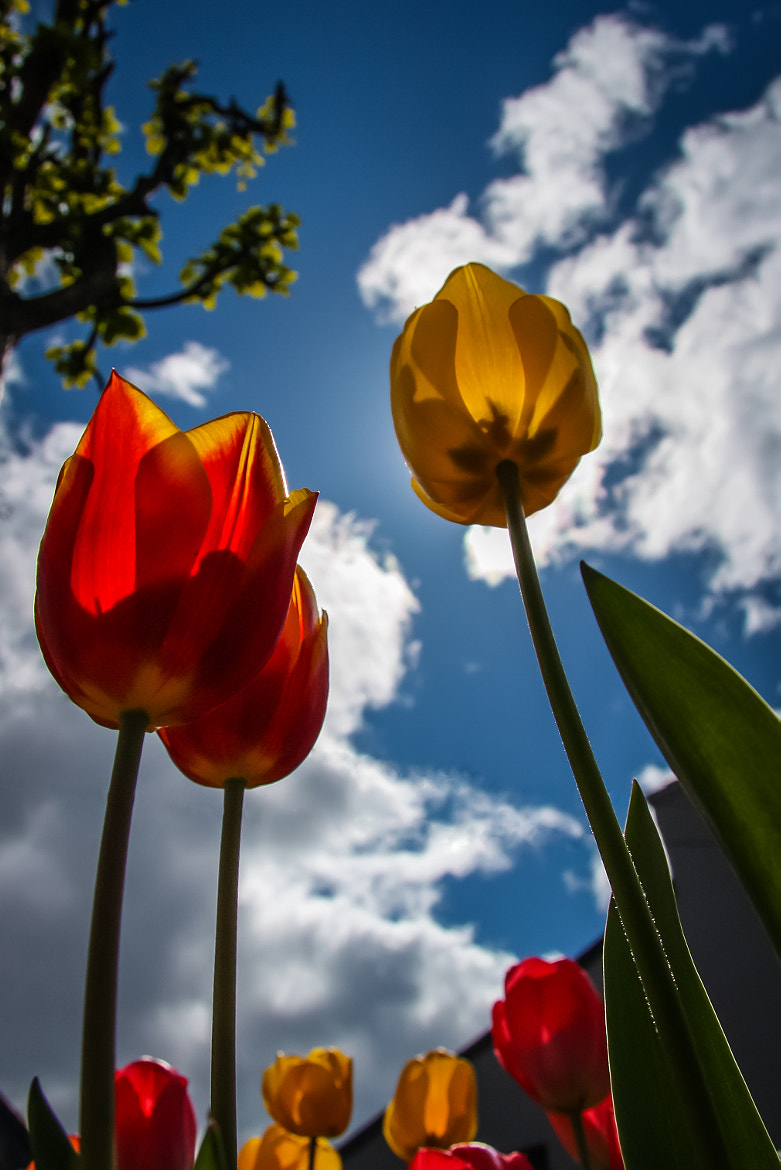 Photograph Tulips by Bjorn Harald Frang Hagfors on 500px