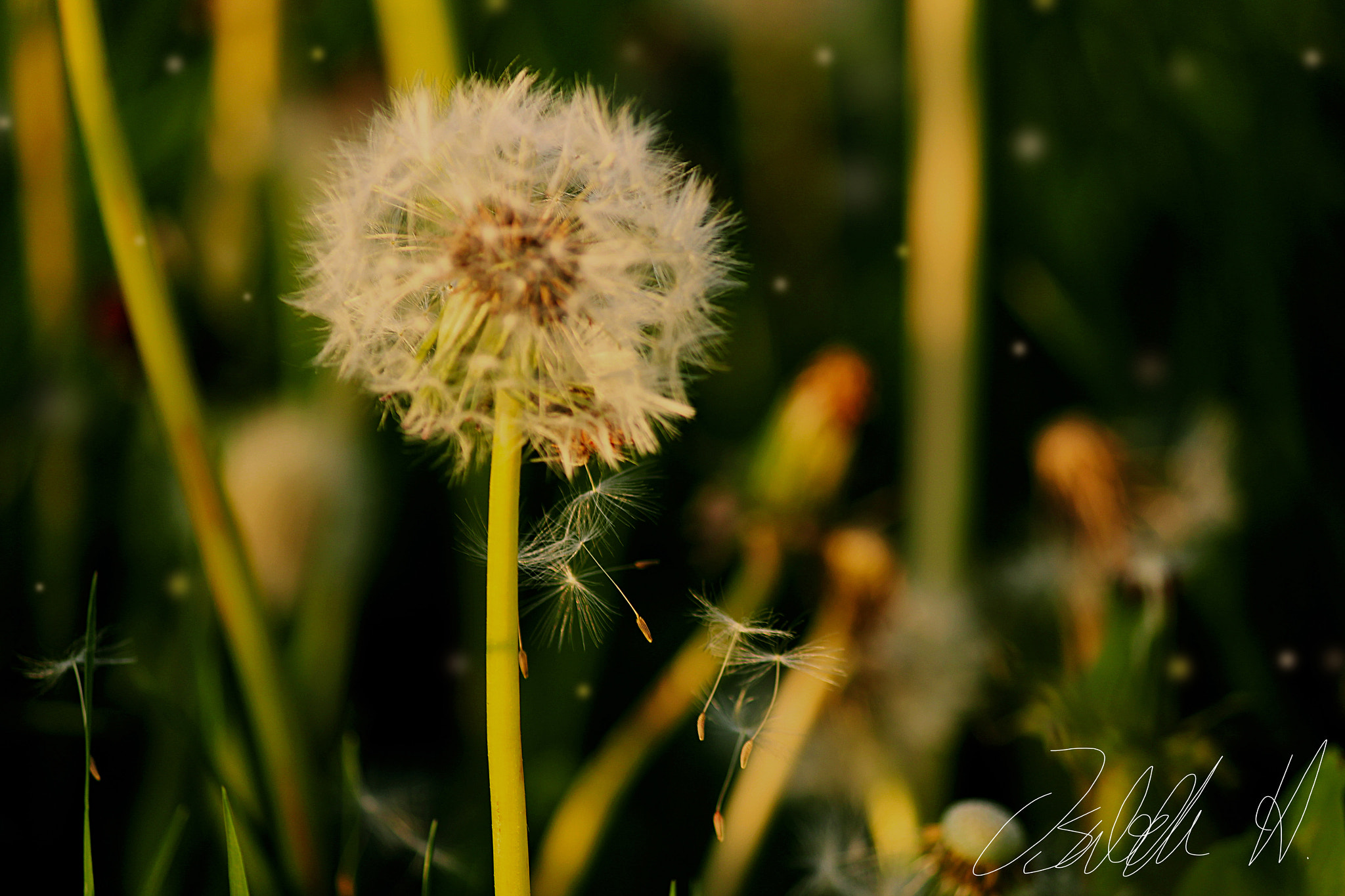 Photograph Dandelion by Isabelle Han on 500px