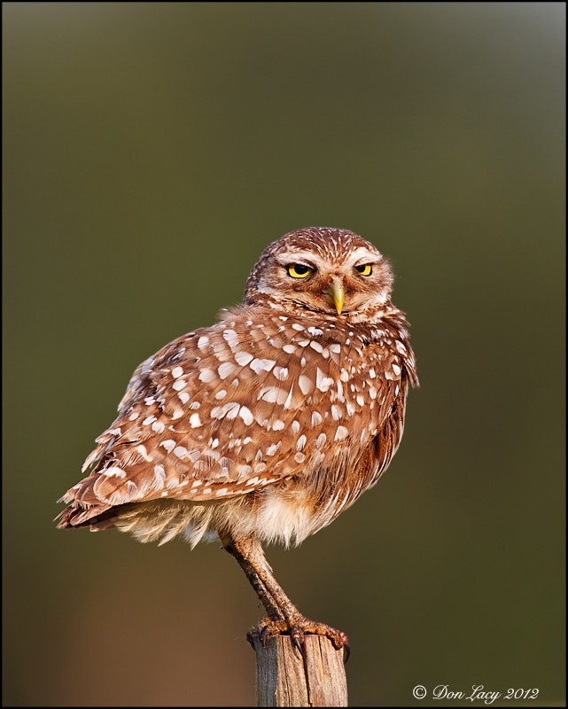 Photograph Papa Owl by Don Lacy on 500px