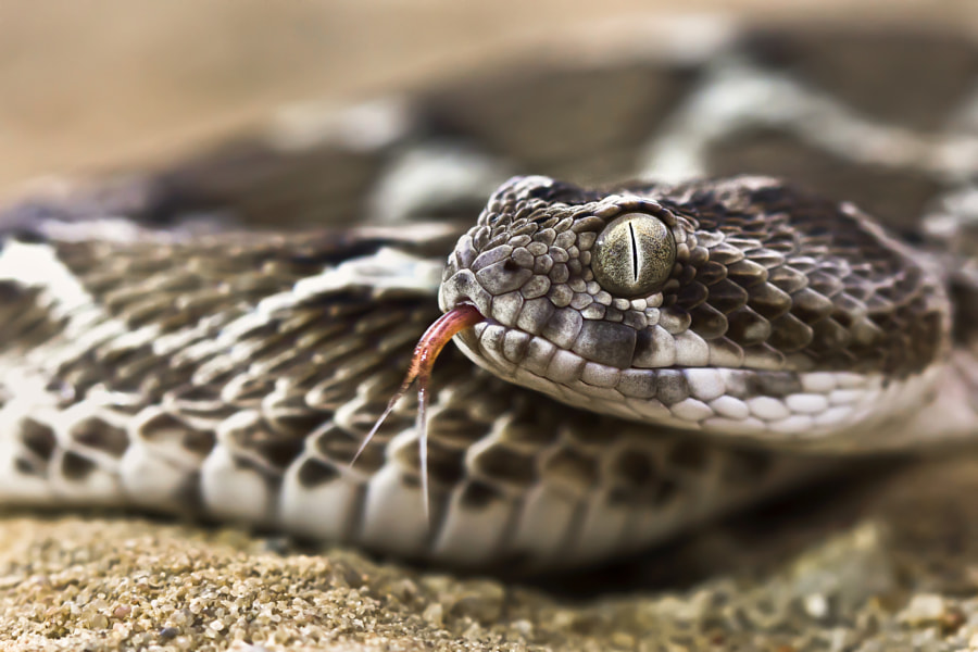 Photograph Sawscale Viper by Abhishek Chatterjee on 500px