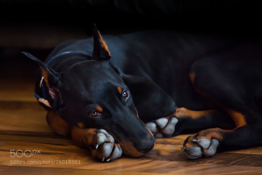 Black Doberman puppy with huge paws napping on the floor.