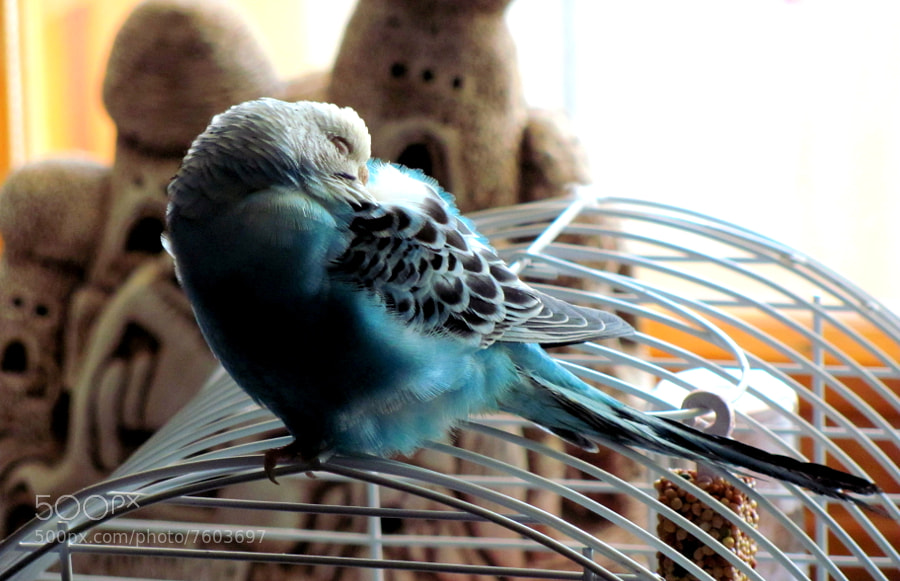Photograph sleep in the budgerigar by Cihan Yılmaz on 500px