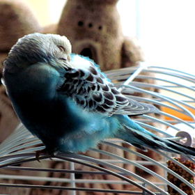 sleep in the budgerigar by Cihan Yılmaz (cihan)) on 500px.com