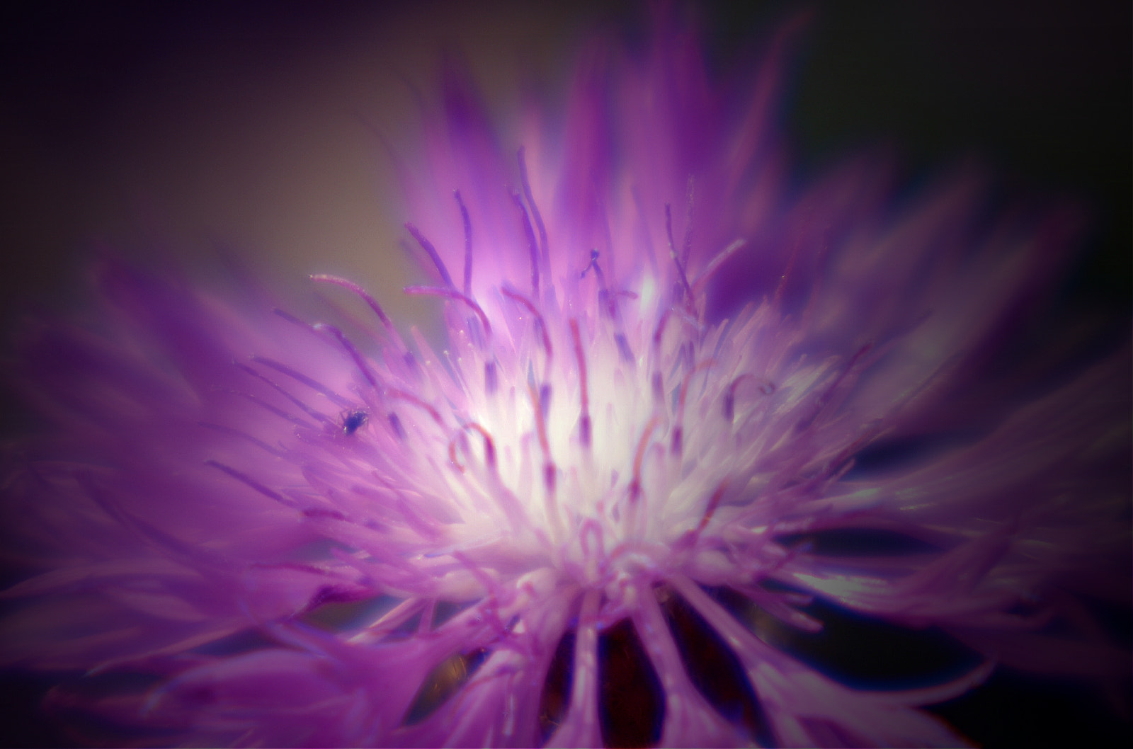 Photograph Purple Pincushion by Kyle Dyson on 500px