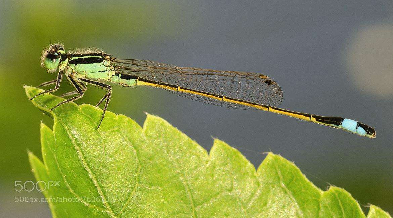Photograph Green Damselfly by Adam Baron on 500px