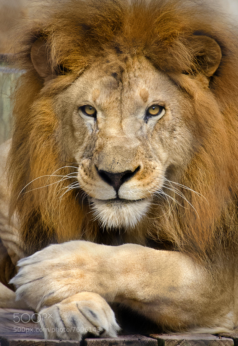 Photograph Mr. Lion by Adam Baron on 500px