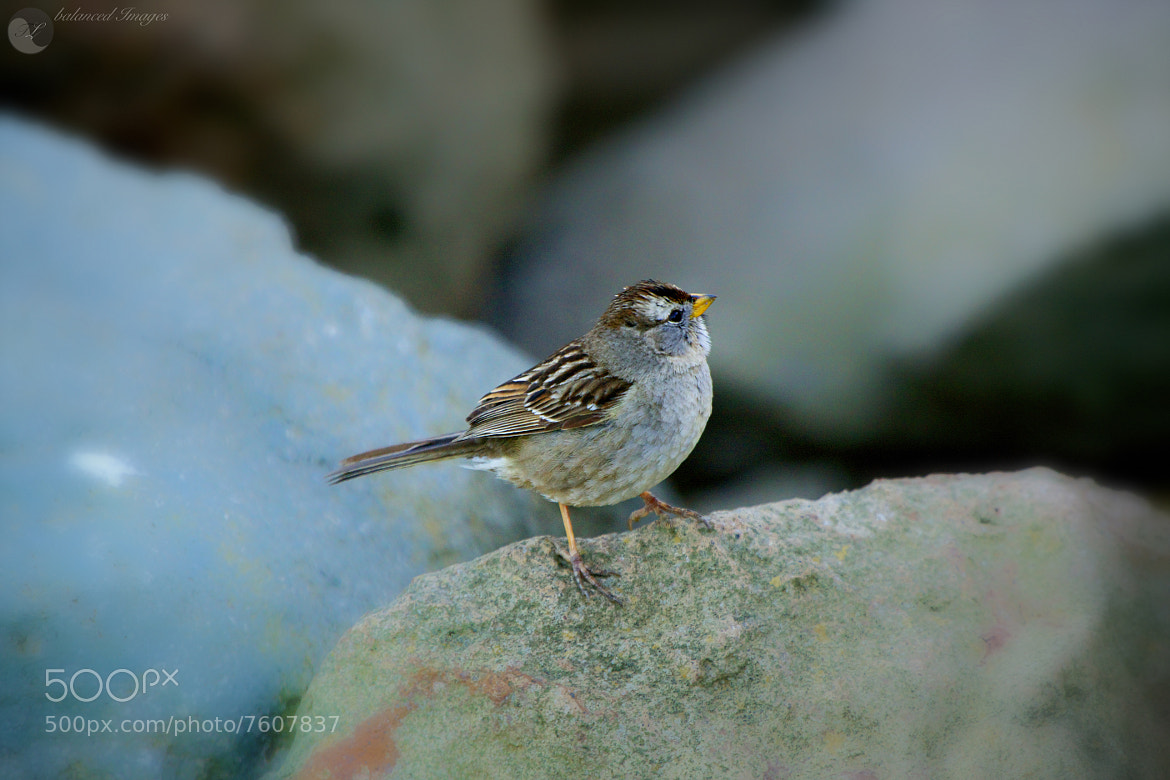 Photograph Golden-crowned Sparrow Sparrow by Todd Livermore on 500px