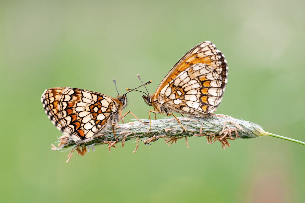 Photograph Fritillary in togetherness by Bernhard Lagler on 500px