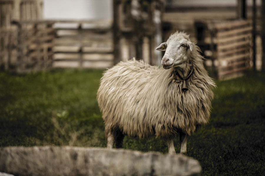 Photograph Dolly Sheep by Angelo Giurlando on 500px