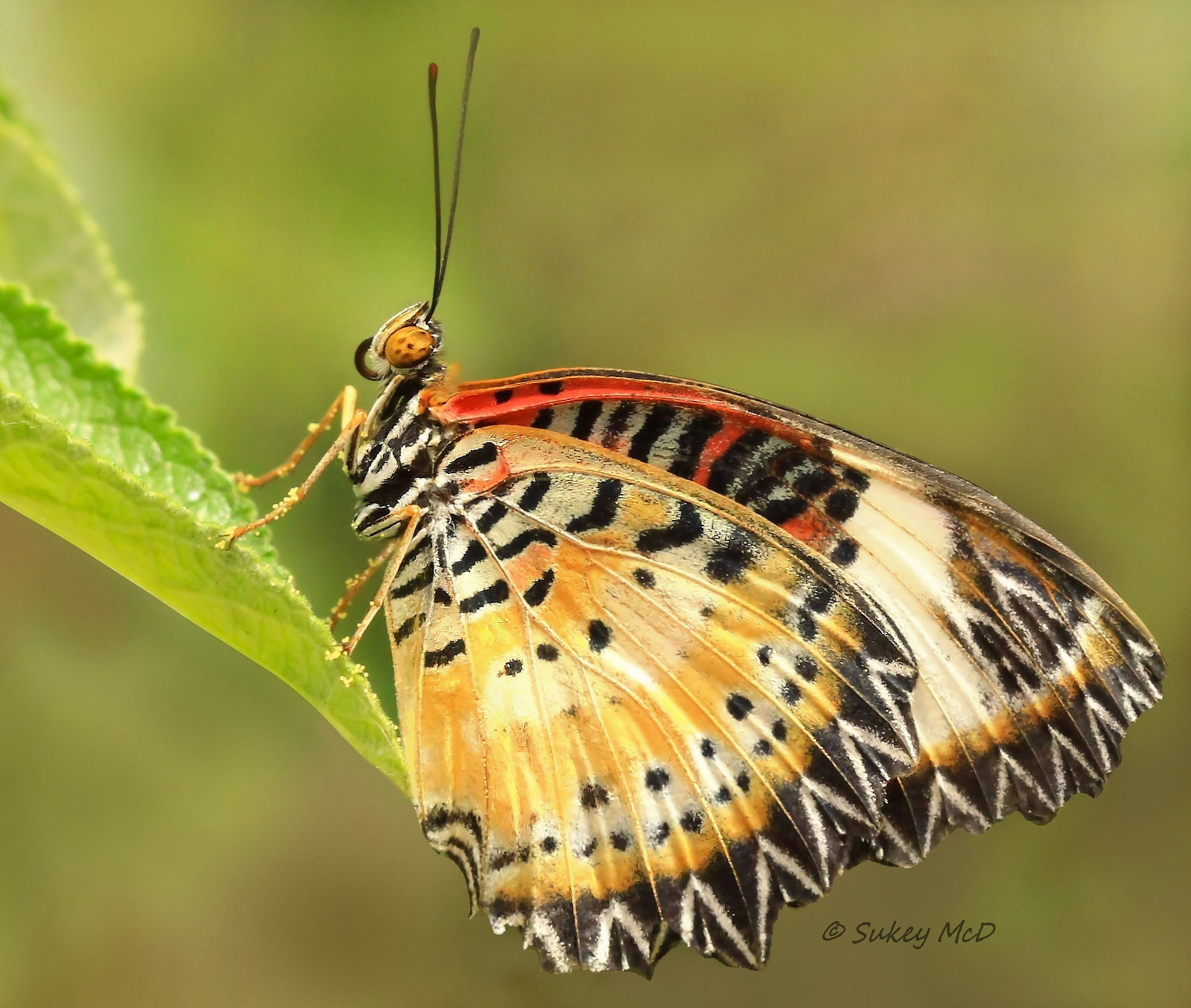 Photograph Red Lacewing by Sue McD on 500px