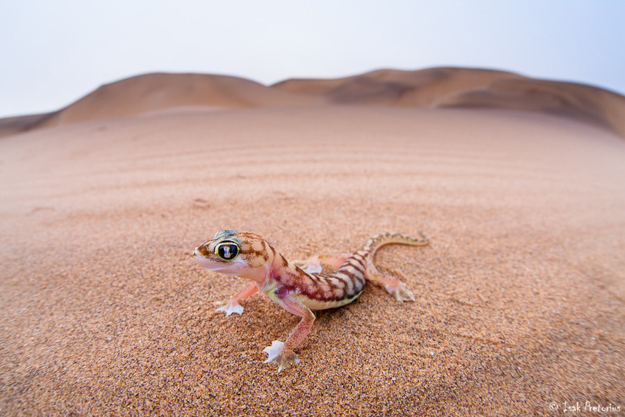 Photograph Gecko in the dunes by Isak Pretorius on 500px