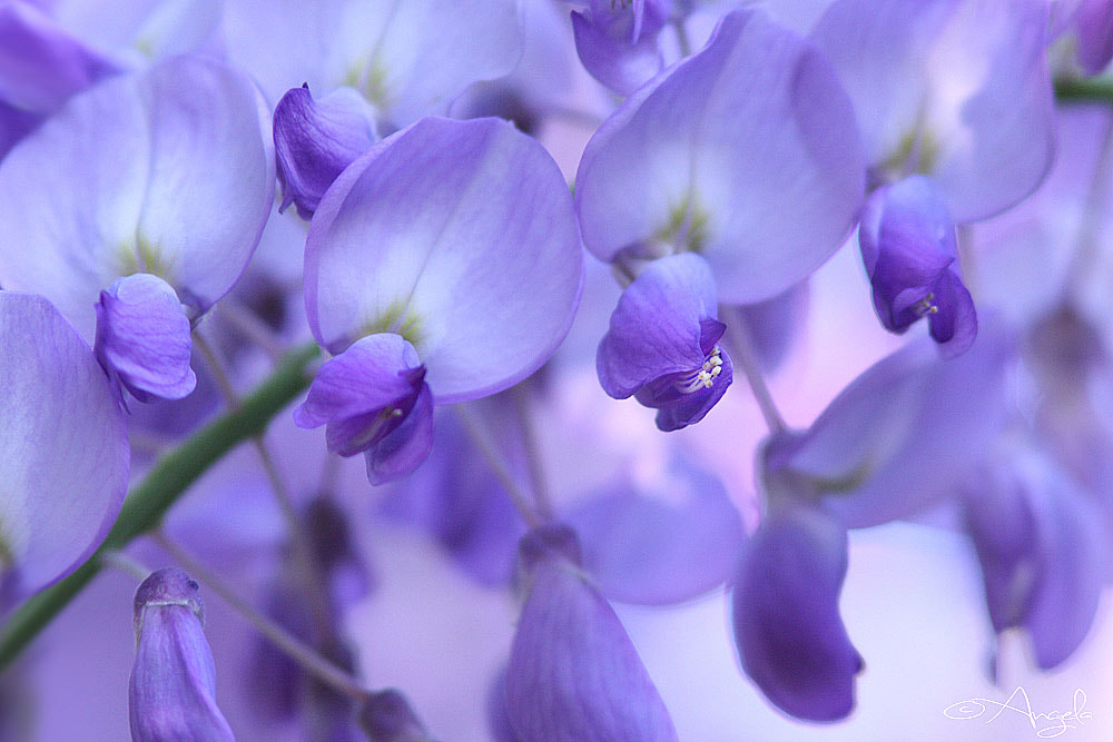 Photograph Wisteria by Angela Raben on 500px