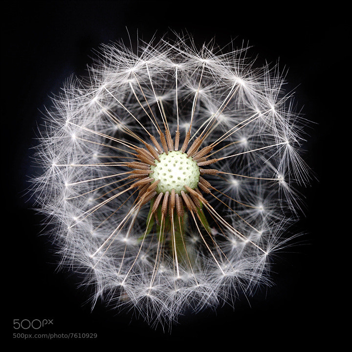 Photograph Dandelion by Woon Shin on 500px