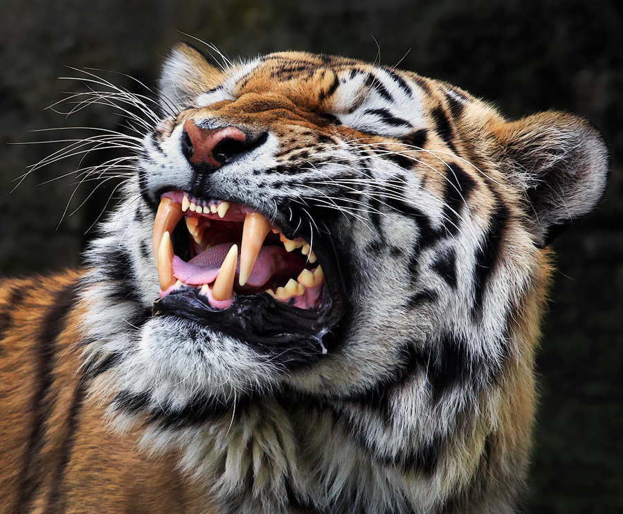 Photograph Angry by Klaus Wiese on 500px