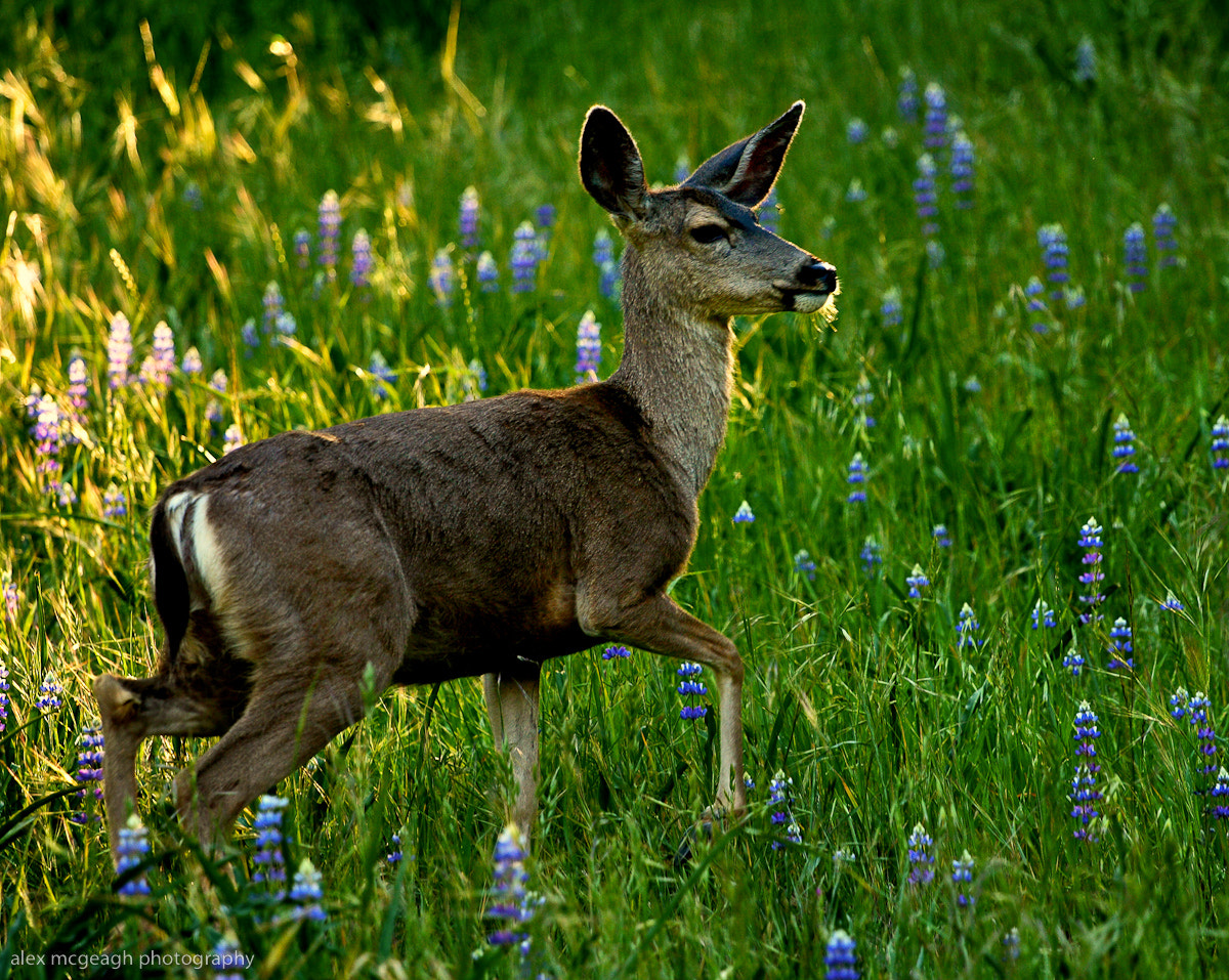 Photograph Deer in Field of Lupines by Alex McGeagh on 500px