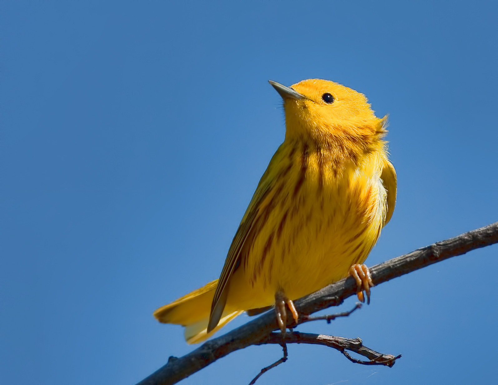 Photograph Yellow Warbler ( Paruline jaune ) by bruno Lazzoni on 500px