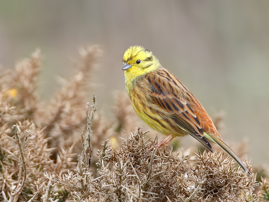 Photograph Yellowhammer by Roy Churchill on 500px