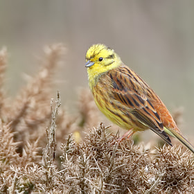 Yellowhammer by Roy Churchill (Roy_C)) on 500px.com