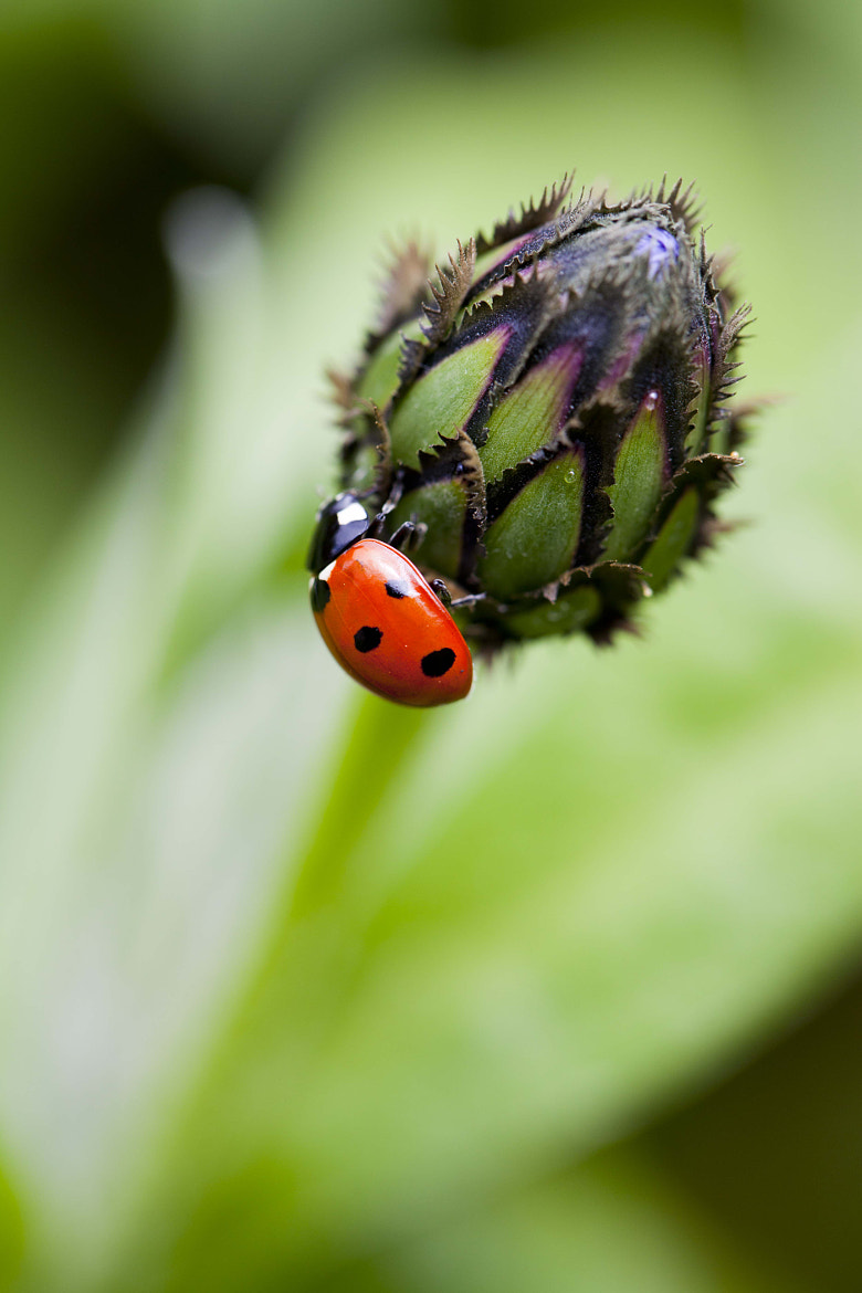 Photograph Ladybird by Naomi Turner on 500px