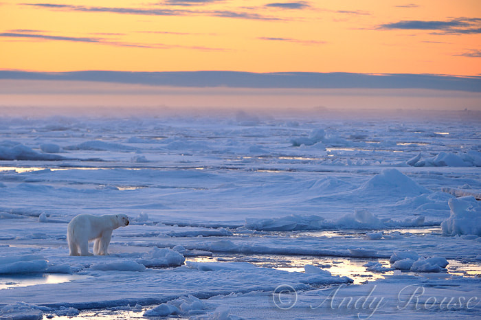 Photograph Polar Bear on pack ice by Andy Rouse on 500px