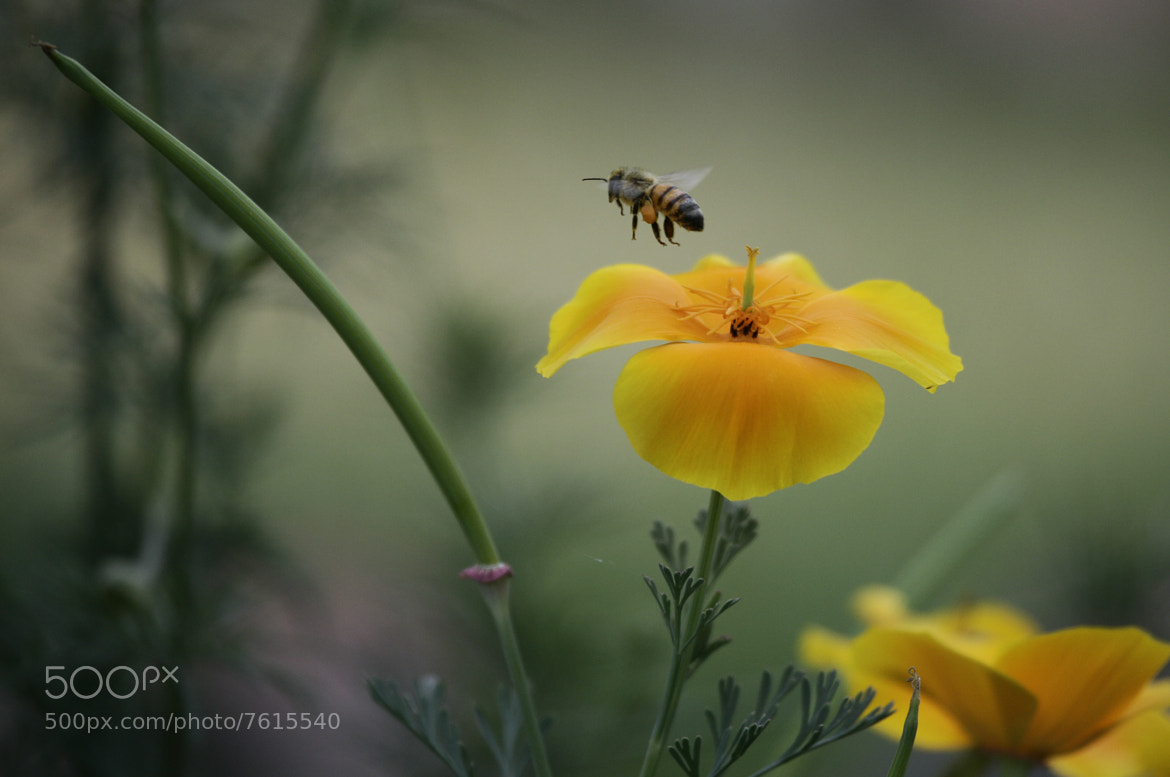Photograph bee and flower.. by Alfredo Garciaferro Macchia on 500px