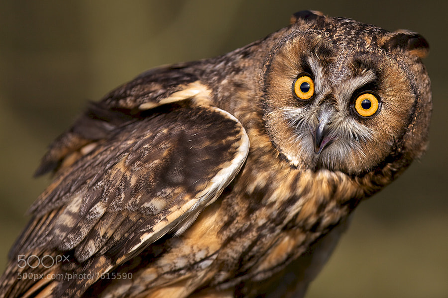Photograph grumpy old owl by Mark Bridger on 500px