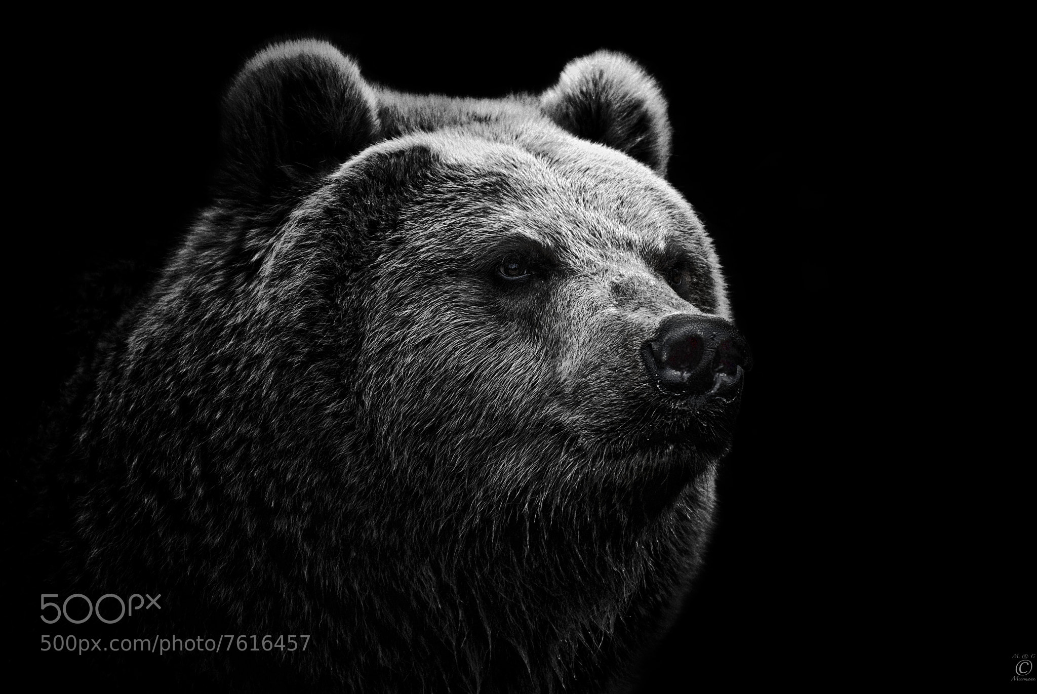 Photograph East Siberian Brown Bear by Christian Meermann on 500px