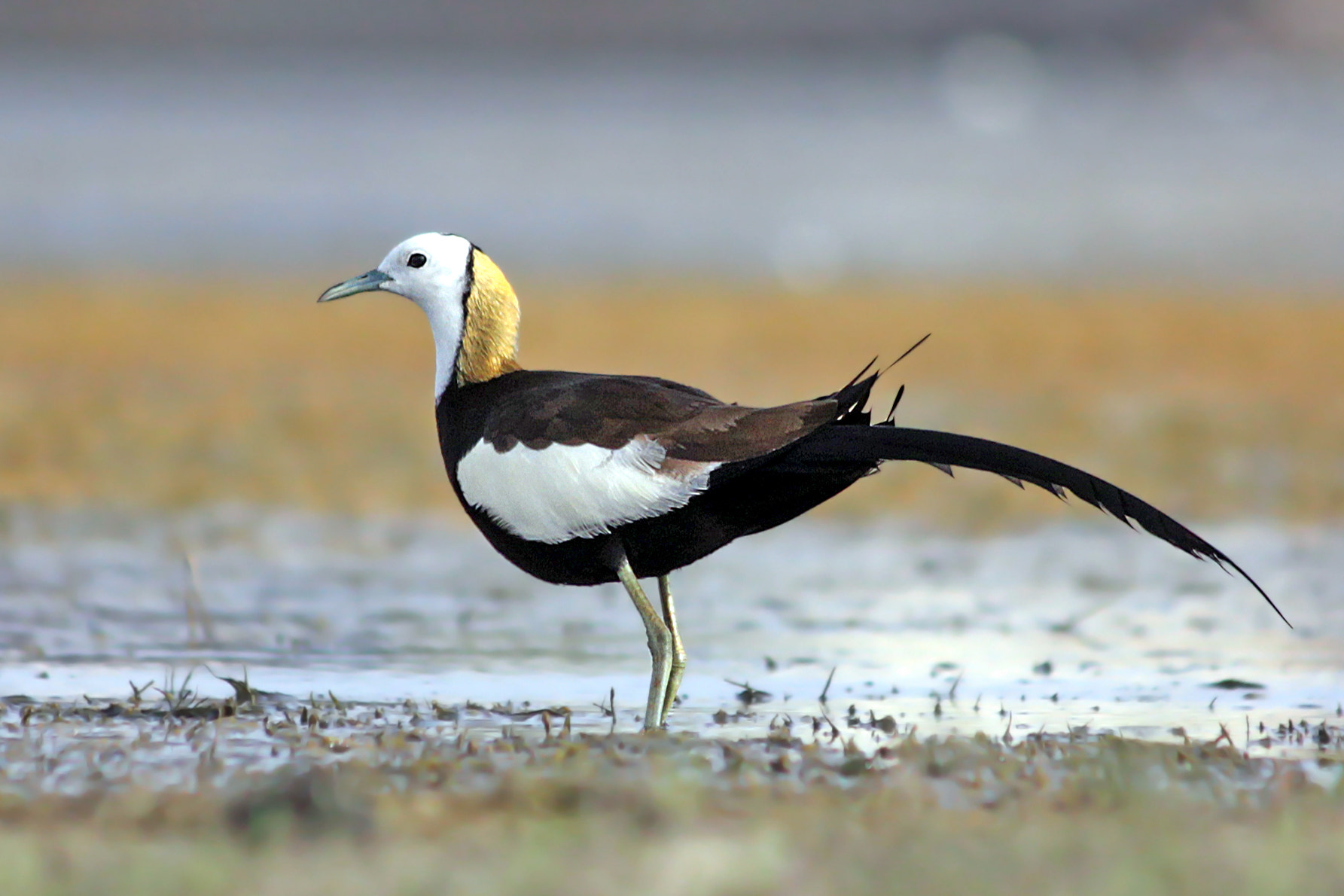 Photograph The pheasant-tailed jacana (Hydrophasianus chirurgus) by Subhash Masih on 500px