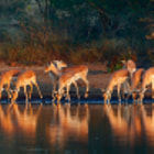 Постер, плакат: Impala herd with reflections in water