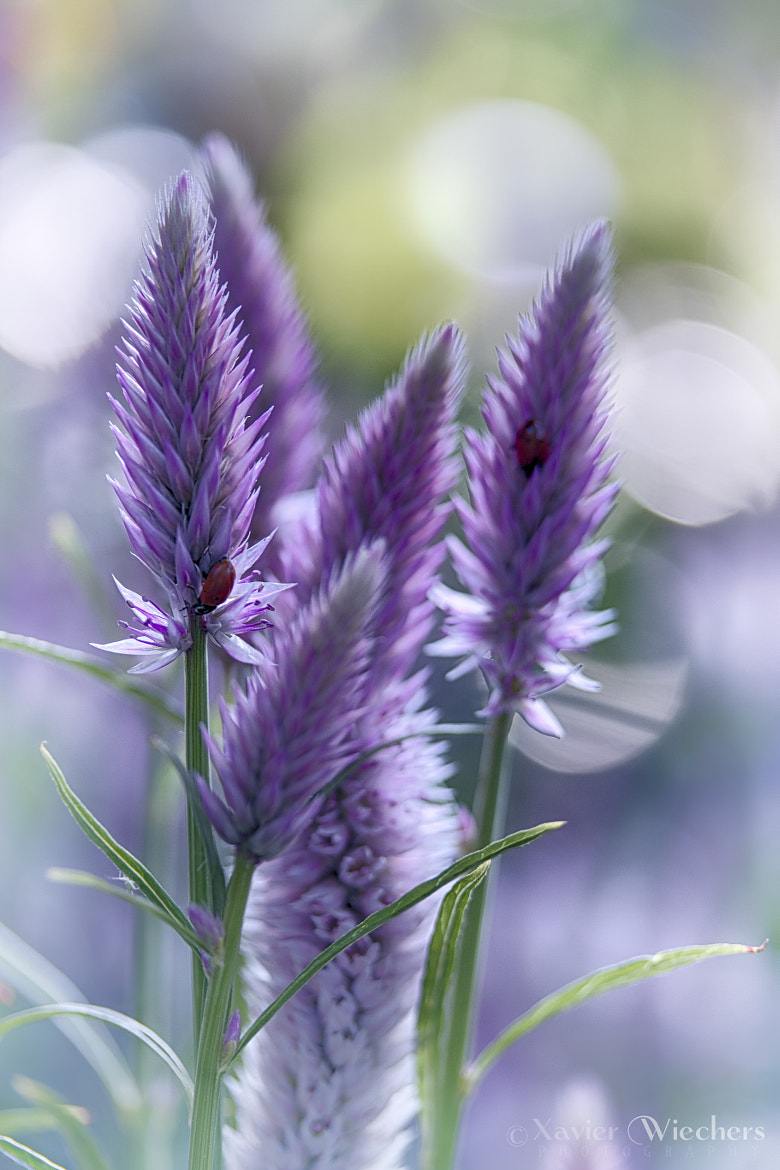 Photograph Spiked Speedwell? by Xavier Wiechers on 500px