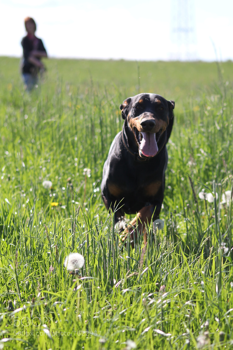 Photograph Dobermann by Nico Schütz on 500px