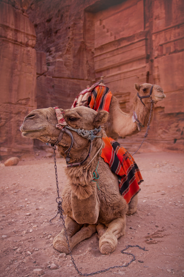 Photograph Camels at Petra by Mark Scott on 500px