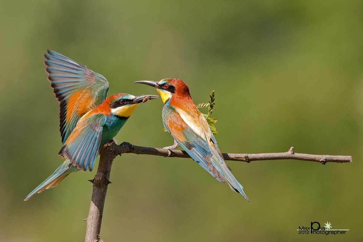 Photograph The courtship of the male! (bee-eaters) by Massimo Dadone on 500px