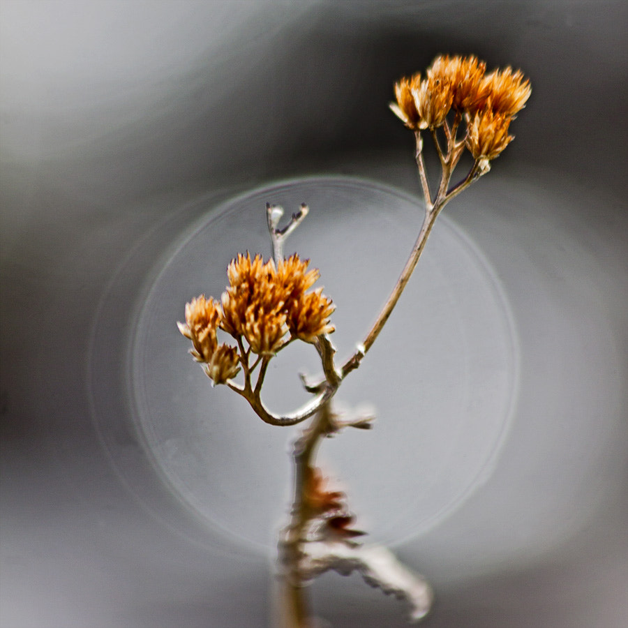 Photograph BOKEH and dead flower by Magnus Lögdberg on 500px