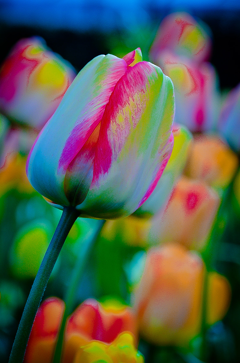 Photograph tulip de colores... by Hector Melo A. on 500px