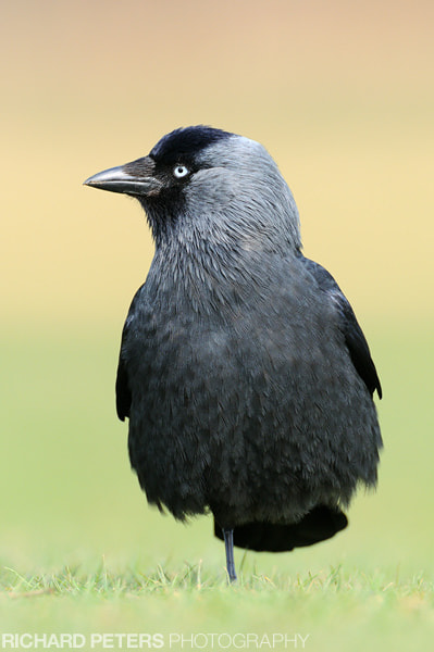 Photograph Simple Jackdaw Portrait by Richard Peters on 500px