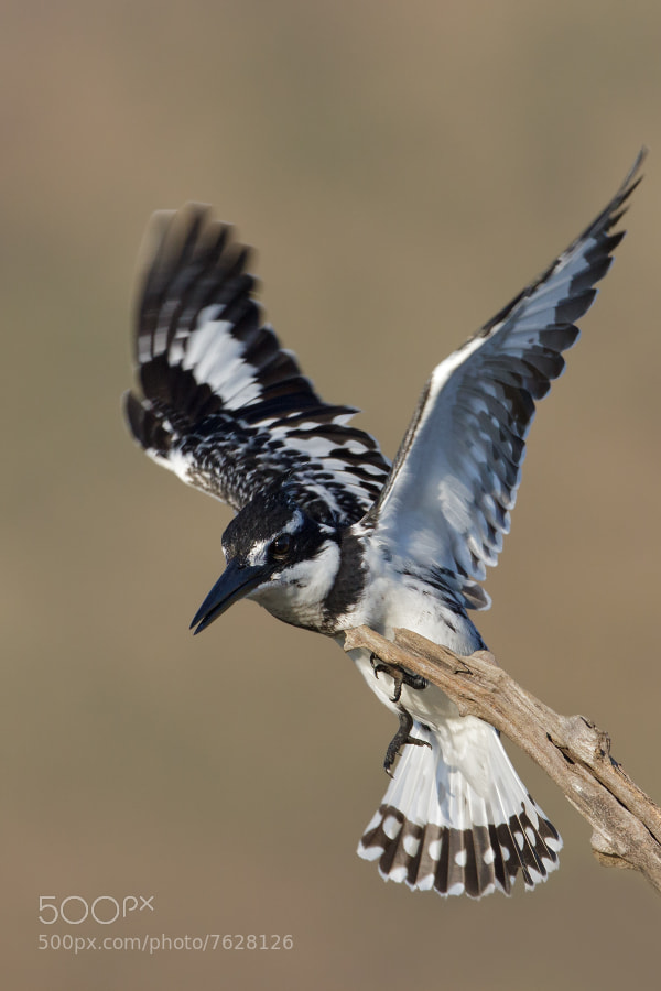 Photograph Pied Kingfisher by Ettienne Van Niekerk on 500px