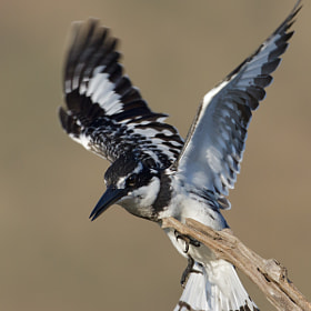 Pied Kingfisher by Ettienne Van Niekerk (EttienneV)) on 500px.com
