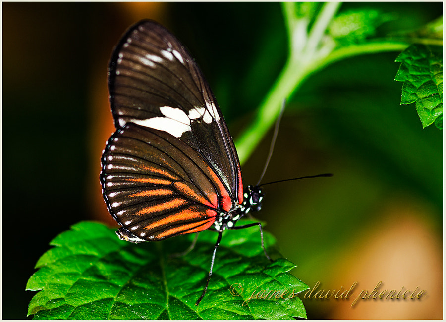 Butterfly Series:  Tiger Longwing
