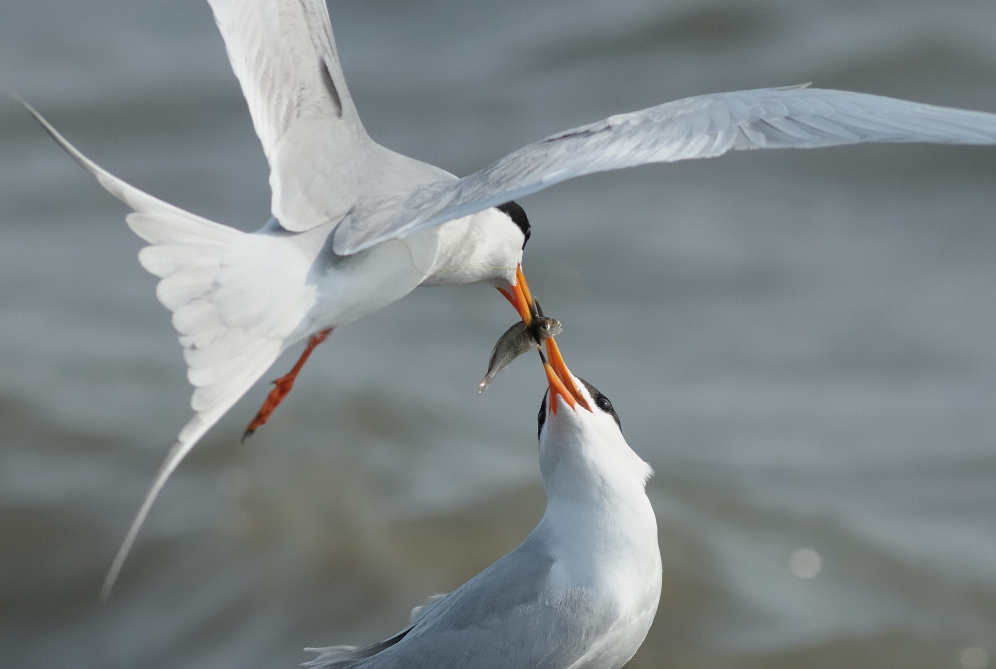 Photograph Forster's Terns Courtship Feeding by Mark Schwall on 500px
