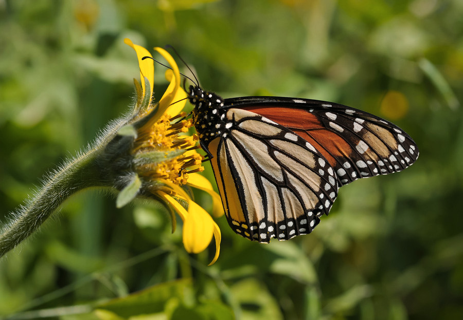 Photograph Monarch II by Luis Jaime Leal on 500px