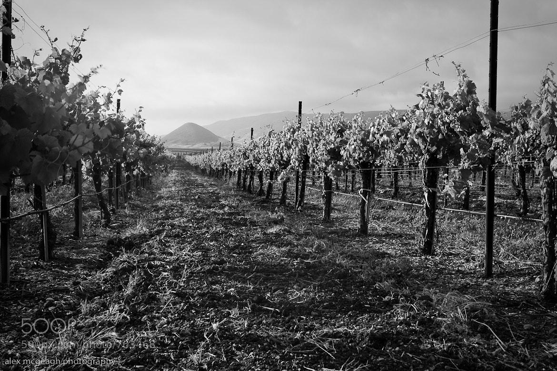 Photograph Vineyard Rows by Alex McGeagh on 500px