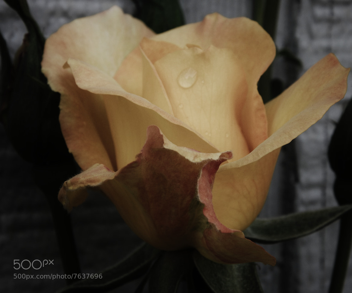 Photograph Vintage Rose by Christina Weger on 500px