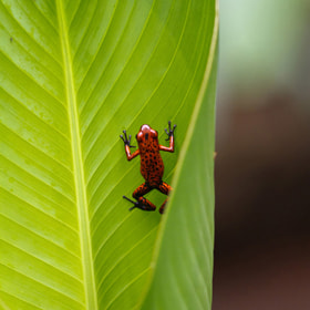 Red poison dart Frog - Costa Rica by Benjamin Nocke (huntington)) on 500px.com
