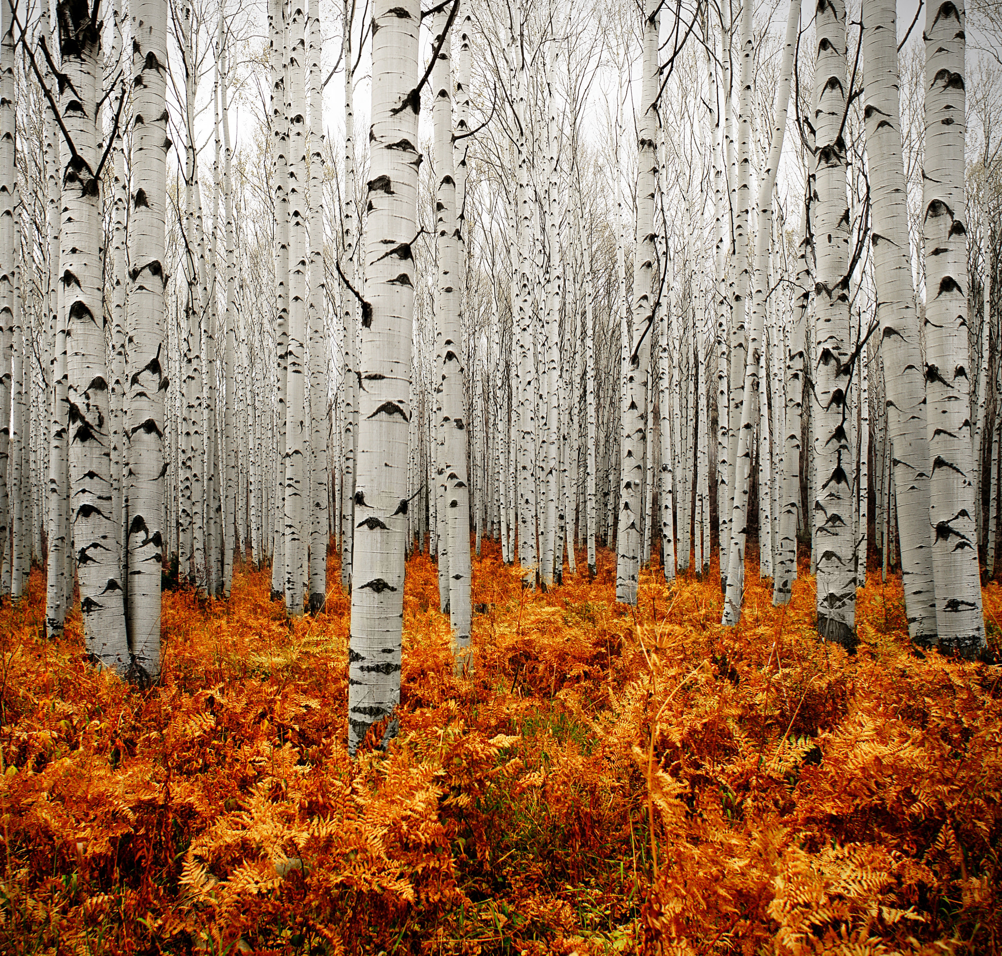 Photograph Aspen Forest by Chad Galloway on 500px