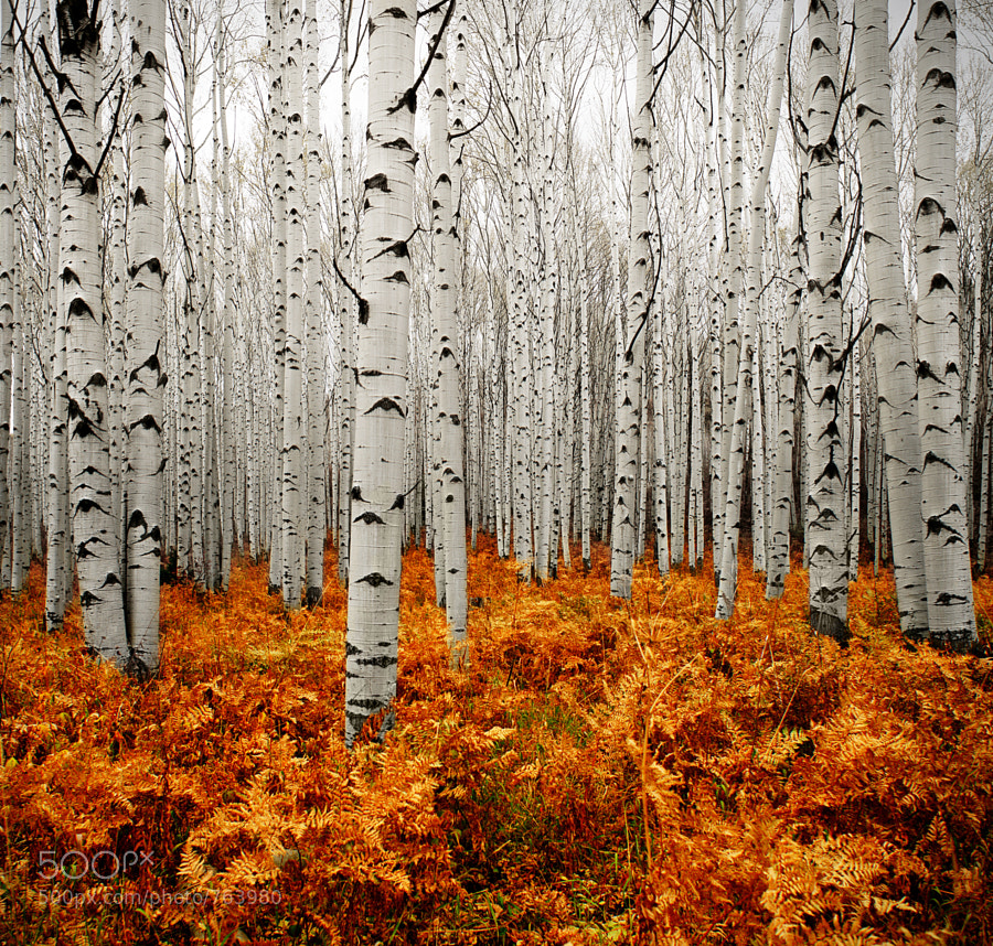 Aspen Forest by Chad Galloway on 500px.com