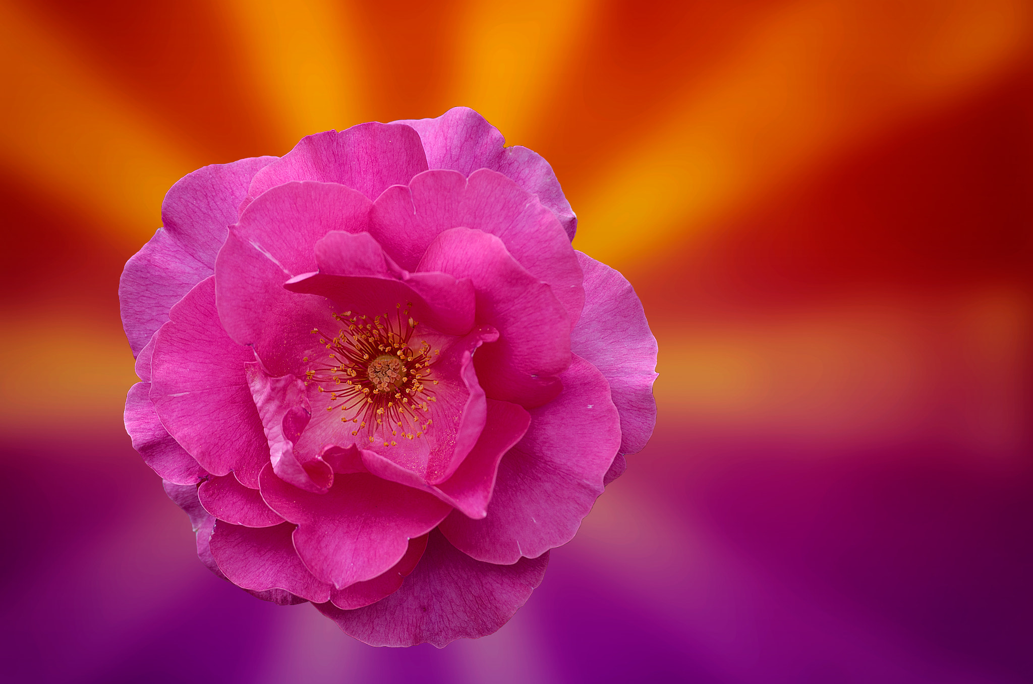 Photograph Rose ! by Gilles Menghetti Gilles on 500px