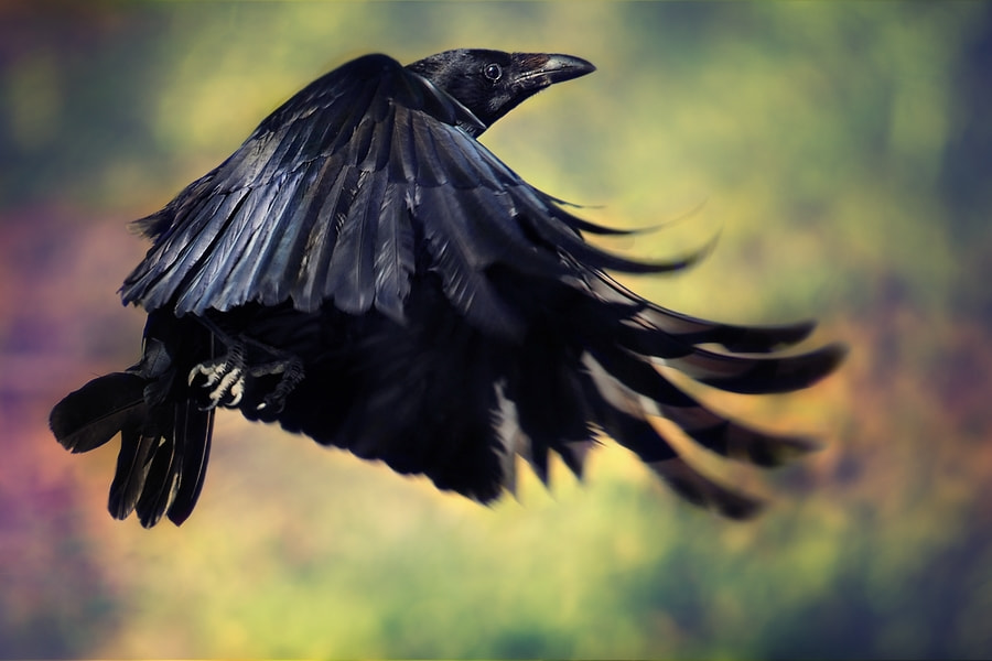 Photograph the crow ... by eric c. on 500px