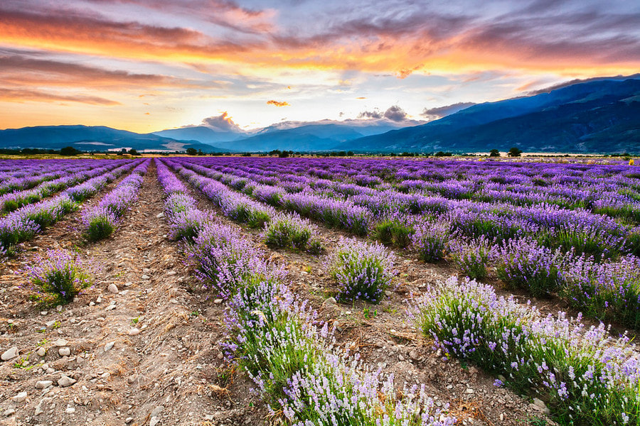 Photograph Lavenderset by Evgeni Dinev on 500px