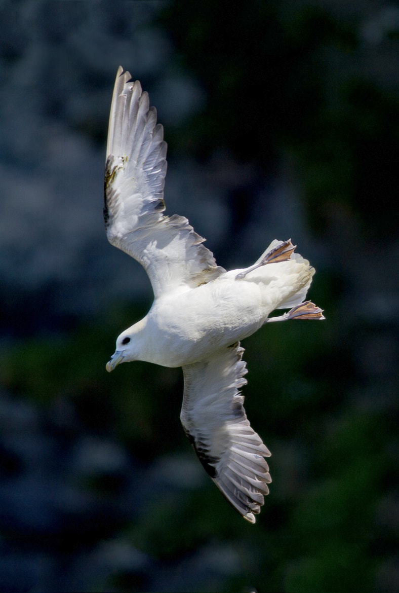 Photograph Fulmar in flight by Clare Greenwood on 500px